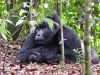 Gorille (Ouganda)