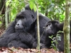 Un gorille et son petit (Ouganda)
