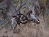 Jeunes grands koudous mâles qui se battent, parc national Kruger (Afrique du Sud) © A. et M. Allemand