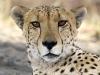 Guépard, parc national de Chobe (Botswana) © Dana Allen