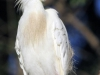 cattle-egret-breeding