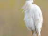 cattle-egret-dos-zebre-1