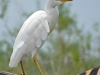 cattle-egret-dos-zebre