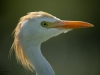 portrait-cattle-egret-2