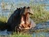 Hippopotame bâillant, delta de l'Okavango (Botswana)