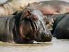 Hippopotame dans le fleuve Zambèze, parc national Mana Pools (Zimbabwe)
