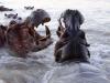 Hippopotames mâles qui cherchent à s'impressionner mutuellement, parc national Luangwa (Zambie) © Kaingo Safaris