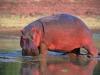 Hippopotame hors de l'eau, parc national Lower Zambezi (Zambie)