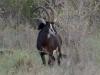 Hippotrague noir mâle, parc national Kruger (Afrique du Sud) © A. et M. Allemand