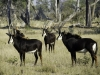 Troupeau d'hippotragues noirs, parc national Chobe (Botswana) © Dana Allen