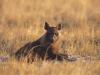 Hyène brune dans les plaines herbeuses du Kalahari, parc Makgadikgadi (Botswana) © Wilderness Safaris