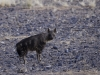Hyène brune, Sossusvlei (Namibie) © Dana Allen