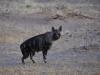 Hyène brune dans le désert du Sossusvlei (Namibie) © Dana Allen
