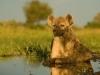 Hyène tachetée qui se rafraîchit, delta de l'Okavango (Botswana) © Dave Hamman