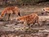 Hyènes tachetées, fleuve Luangwa (Zambie)