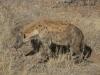 Hyène tachetée, parc national Kruger (Afrique du Sud)
