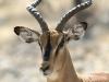Impala à face noire, Ongava, parc national Etosha (Namibie) © Dana Allen