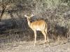 Impala femelle, delta de l'Okavango (Botswana) © ae