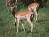 Jeune impala (Kenya)