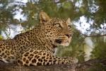 Léopard qui observe son environnement, parc national Luangwa (Zambie) © Kaingo Safaris