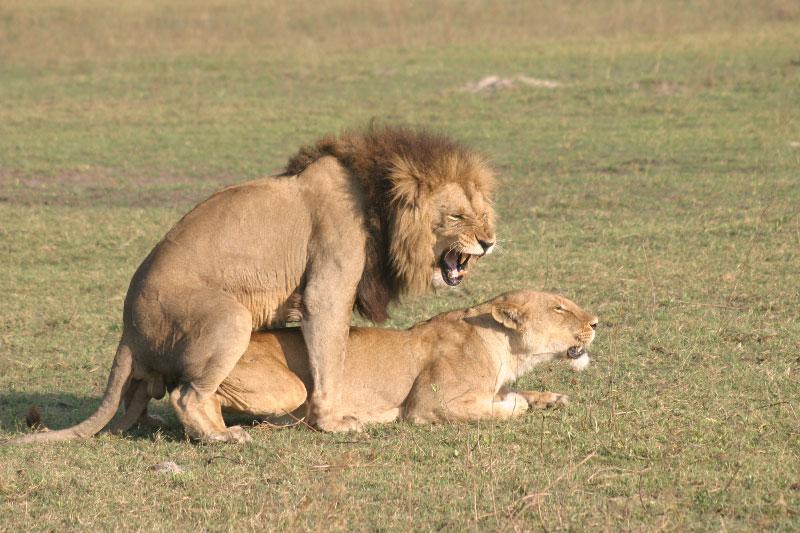 Hervorragend Lion - Guide Safari & Photo Lion |makila.fr QH78