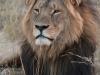 Lion mâle adulte à crinière noire, parc national Hwange (Zimbabwe) © ae