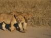 Jeunes lions qui s'entraînent à chasser, parc national Luangwa (2) (Zambie) © ae