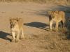 Jeunes lions qui s'entraînent à chasser, parc national Luangwa (1) (Zambie) © ae