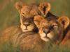Lionnes qui se reposent
