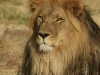 Lion mâle, parc national Etosha (Namibie)