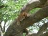 Lion dans un arbre, Ishasha (Ouganda)