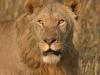 Jeune lion mâle, plaines Busanga, parc national Kafue (Zambie) © ae