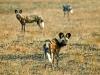 Lycaons, plaines Busanga, parc national Kafue (Zambie) © Mike Meyers