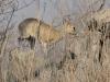 Oréotrague au milieu des rochers, parc national Kruger (Afrique du Sud) © A. et M. Allemand