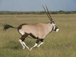Oryx courant dans les plaines du Kalahari, parc Central Kalahari (Botswana) © Mike Meyers