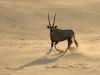 Oryx dans les dunes près du camp Serra Cafema, vallée Hartmann (Namibie) © Dana Allen