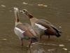 egyptian goose dsc5854