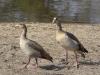 egyptian goose dsc7830