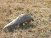 Pangolin vu de dos, plaines Busanga, parc national Kafue (Zambie) © ae