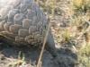 Pangolin en déplacement, plaines Busanga, parc national Kafue (Zambie) © ae