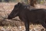 Phacochère mâle, parc national Hwange (Zimbabwe) © A. et M. Allemand