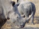 Rhinocéros blanc ou à bouche plate en train de manger, parc national Kruger (Afrique du Sud) © ae
