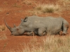 Rhinocéros blanc assis, Hluhluwe (Afrique du Sud)