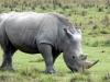 Rhinocéros blanc broutant à Nakuru (Kenya)