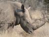 Rhinocéros blanc ou à bouche plate, parc national Kruger (Afrique du Sud) © A. et M. Allemand