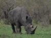 Rhinocéros blanc ou à bouche plate broutant, parc national Kruger (Afrique du Sud) © A. et M. Allemand