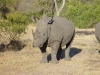 Rhinocéros blanc ou à bouche plate, parc national Kruger (Afrique du Sud) © ae