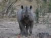 Rhinocéros noir ou à bouche pointue, parc national Hwange (Zimbabwe)