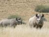 Rhinocéros noir femelle et son petit, Damaraland (Namibie) © Martin Benadie