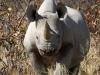 Rhinocéros noir ou à bouche pointue à Ongava, parc national Etosha (Namibie) © Dana Allen